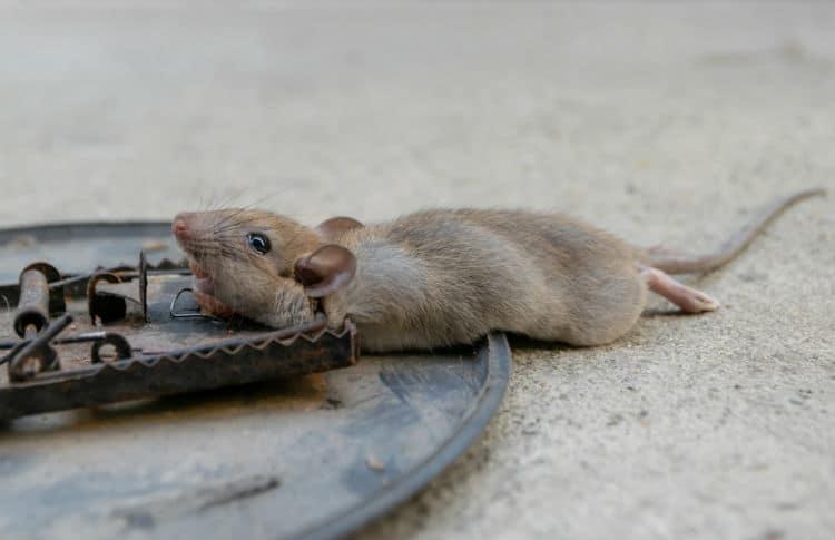Pasca na myši