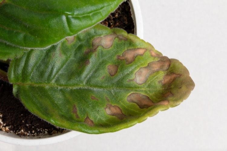 Hnedé škvrny na listoch